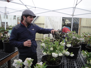 Matt checks out black and white hellebores | by RHR Horticulture