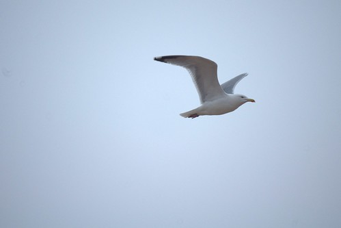 Flying seagull 1 (uncropped original) | by Chris_Malcolm