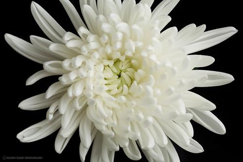 Manzanilla chrysanthemum indicum winter aster philippine healing power of plants chrysanthemum39s bloom power mightylinksfo