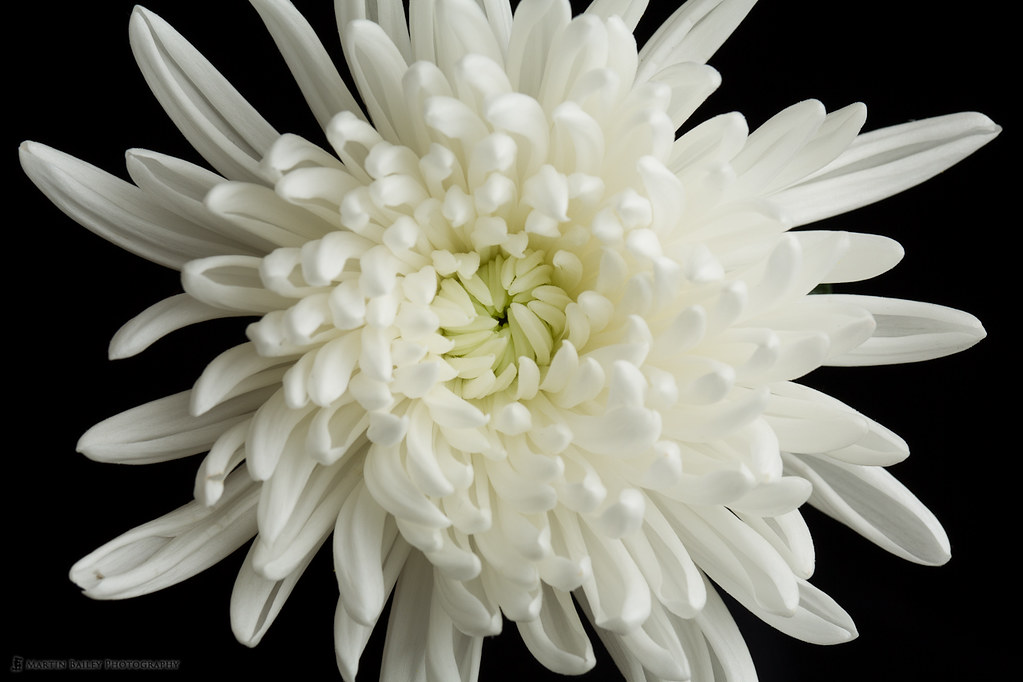 White Chrysanthemum | Shot in my studio with a Profoto 3x4 ...