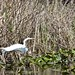 Great Egret at Van Cortland Park