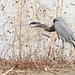 Great Blue Heron at Bosque del Apache