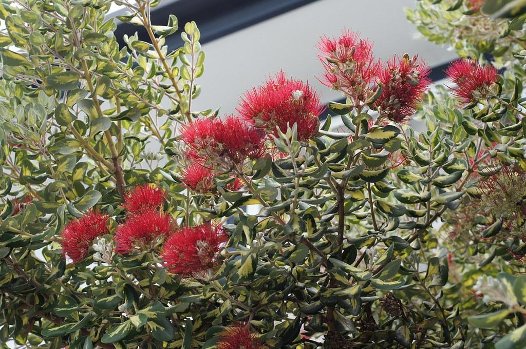 new zealand christmas tree in australia  cultivar