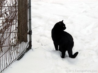 Mr. Midnight in the snow | by Farmgirl Susan