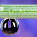 Macro 3:1 Water Droplet Reflection On A Grape Hyacinth Muscari