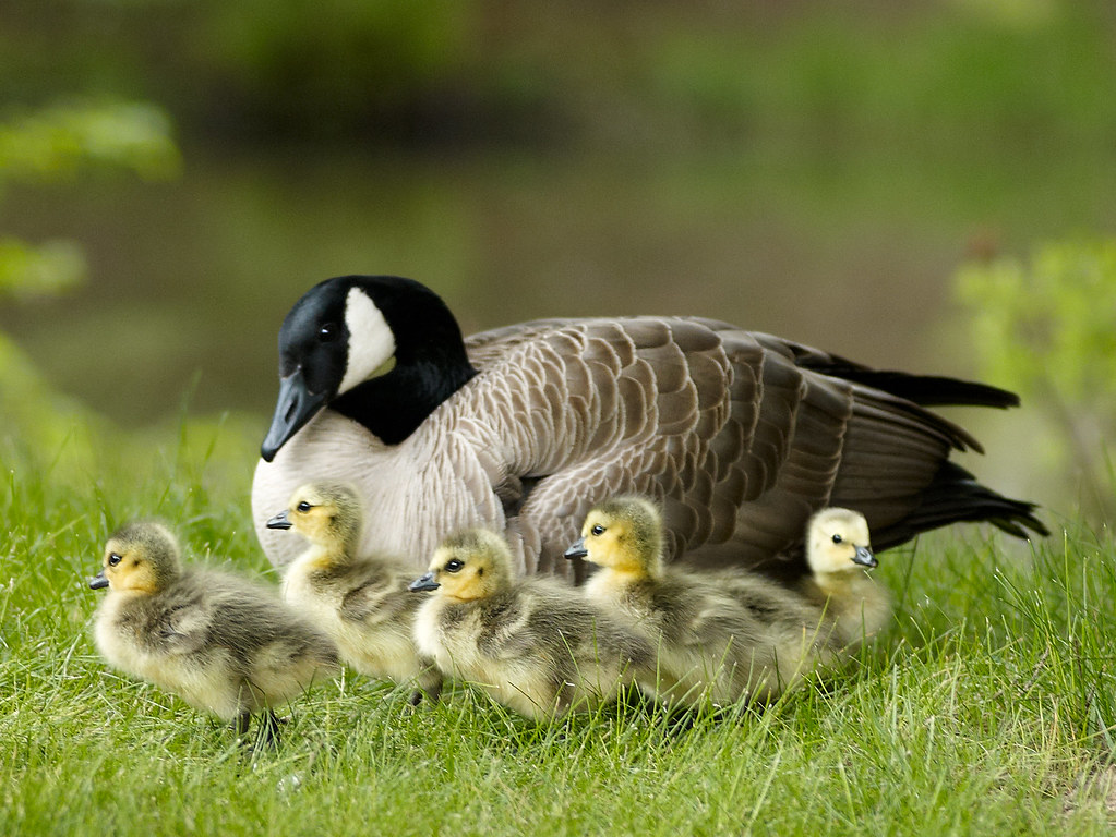 Mama and baby geese | Came across this family of Canada ...