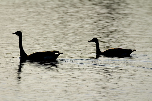 Geese, in silhouette