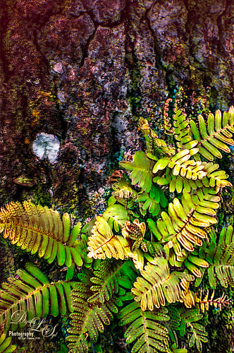 Image of a Resurrection Fern growing on an Oak Tree
