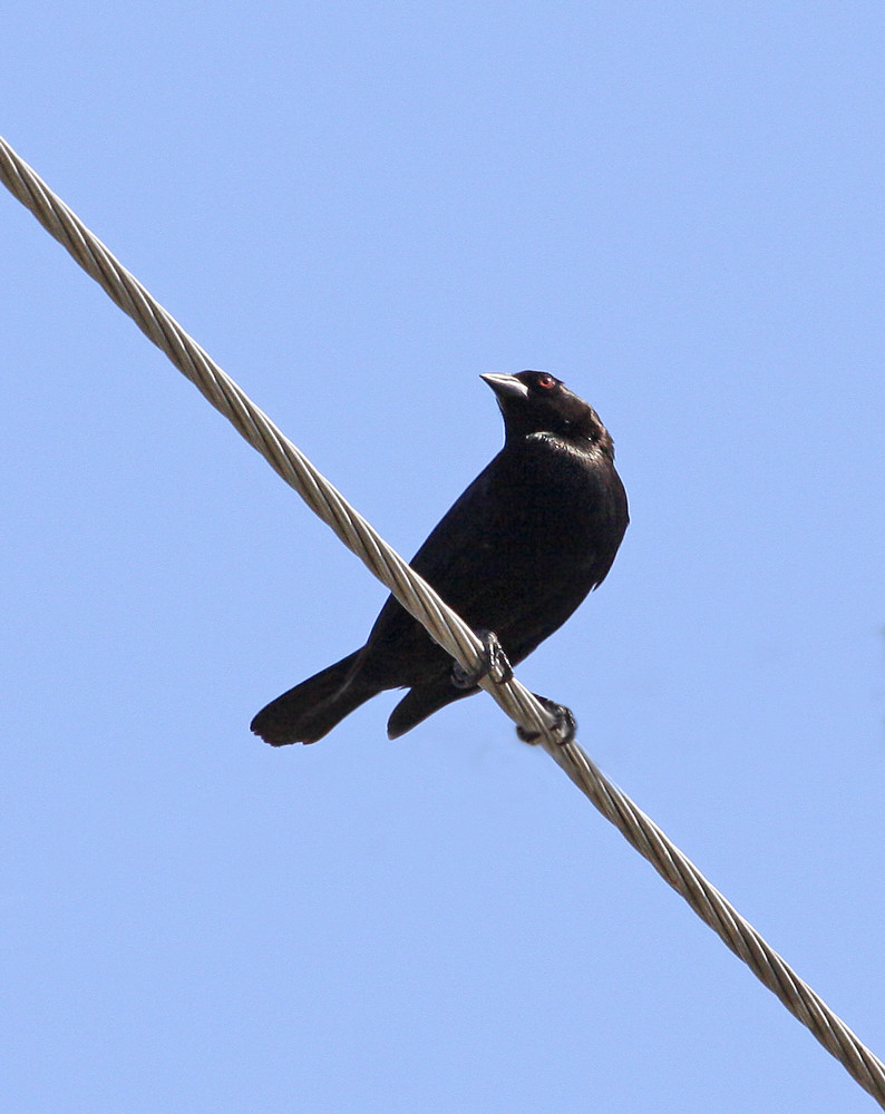 Bronzed Cowbird Molothrus Aeneus 3 3 12 Sta 1 East On