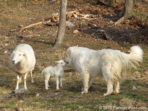 Farm dogs and little lambs 1 - FarmgirlFare.com | by Farmgirl Susan