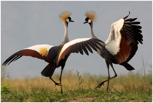 Grey Crowned Crane dance - Balearica regulorum @ Ntoroko Semliki Valley Uganda 2010 | by Jan Rillich