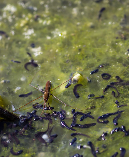 many tadpoles near the surface of the water in a pond. the insect is piercing its mouthparts into one