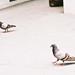 Pigeons~