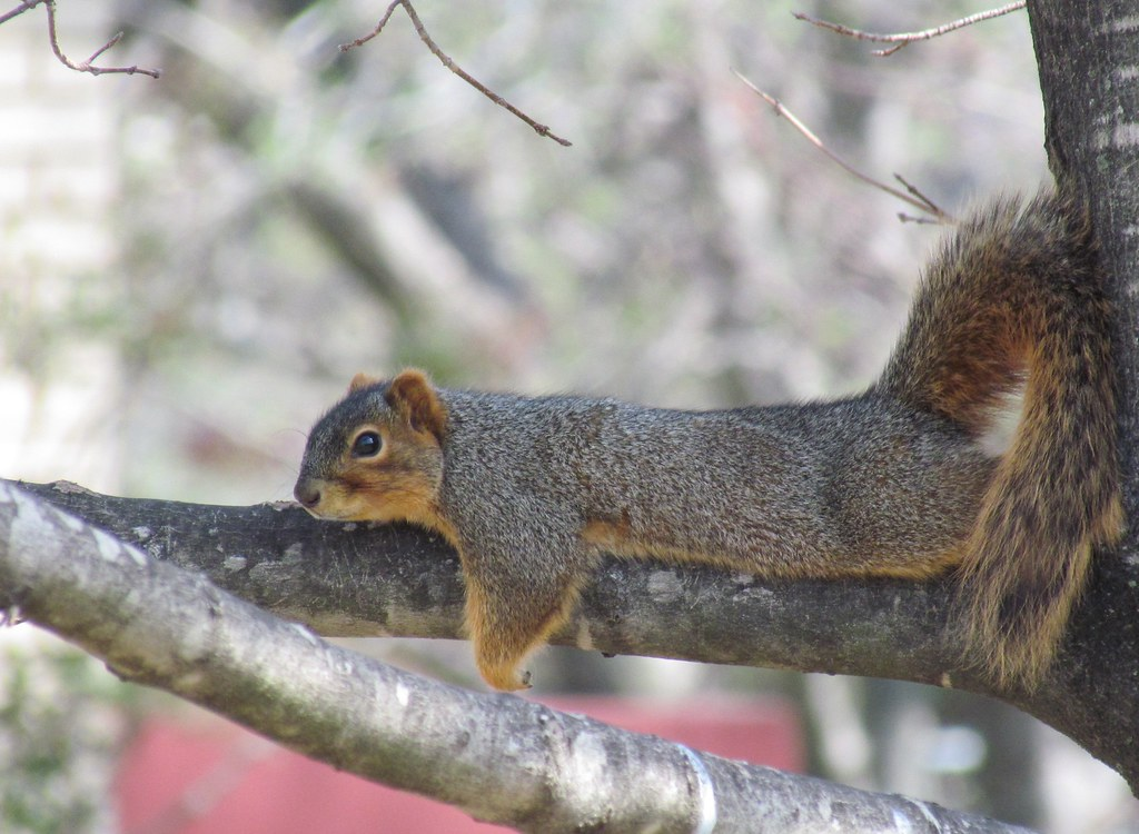Mammals Squirrel Relaxing In Our Yard Sikeston Mo