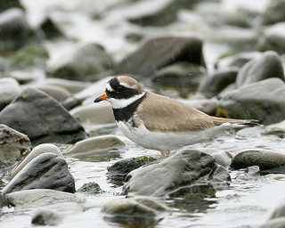 Ringed Plover in the rain | by richie0172