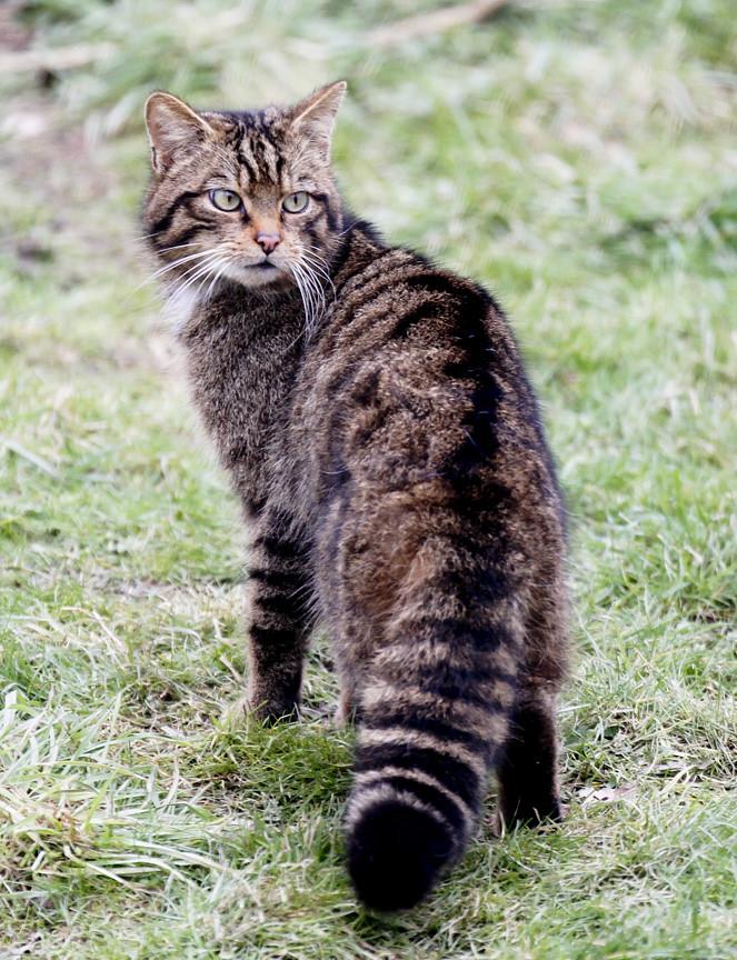 Www Bushy Tailed Cats