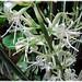Sansevieria trifasciata 'Bantel's Sensation' blooming again! #2/3