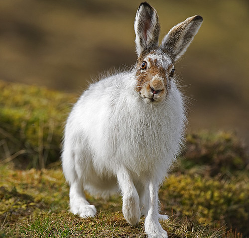Mountain Hare looking inquisitive | by David C Walker 1967
