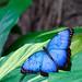 Blue Morpho 9703