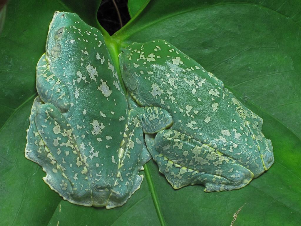 Торочкувата деревна жаба (лат. Cruziohyla craspedopus, англ. Fringe tree frog)