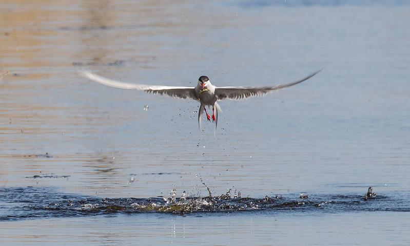 common tern with fish 040c (2529)
