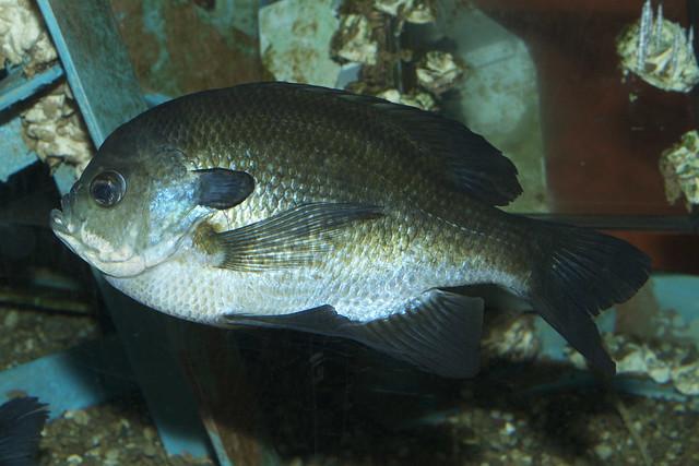 redbreast sunfish (Lepomis auritus) Flickr - Photo Sharing!