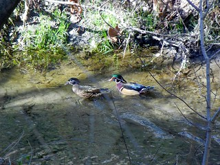 1wood duck2 brian wc | by Contra Costa Times