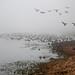 Foggy Morning - Ridgefield Geese