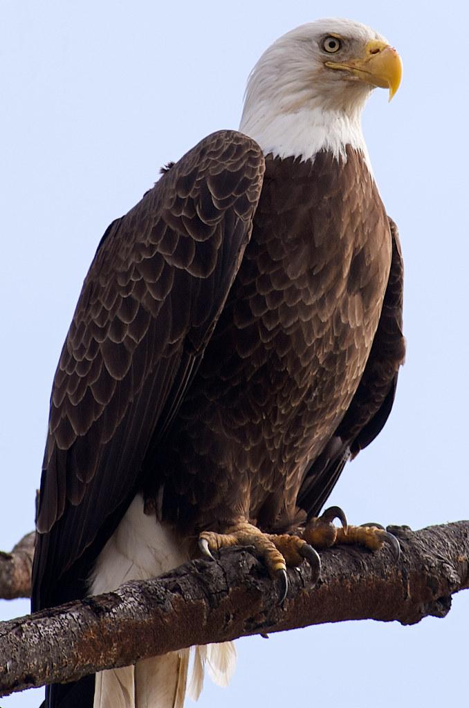 Eagle Eyed Raptor Bald Eagle In Quantico Va Packing