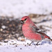 Pine Grosbeak...#10