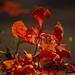 Wet petals of Krishnachura