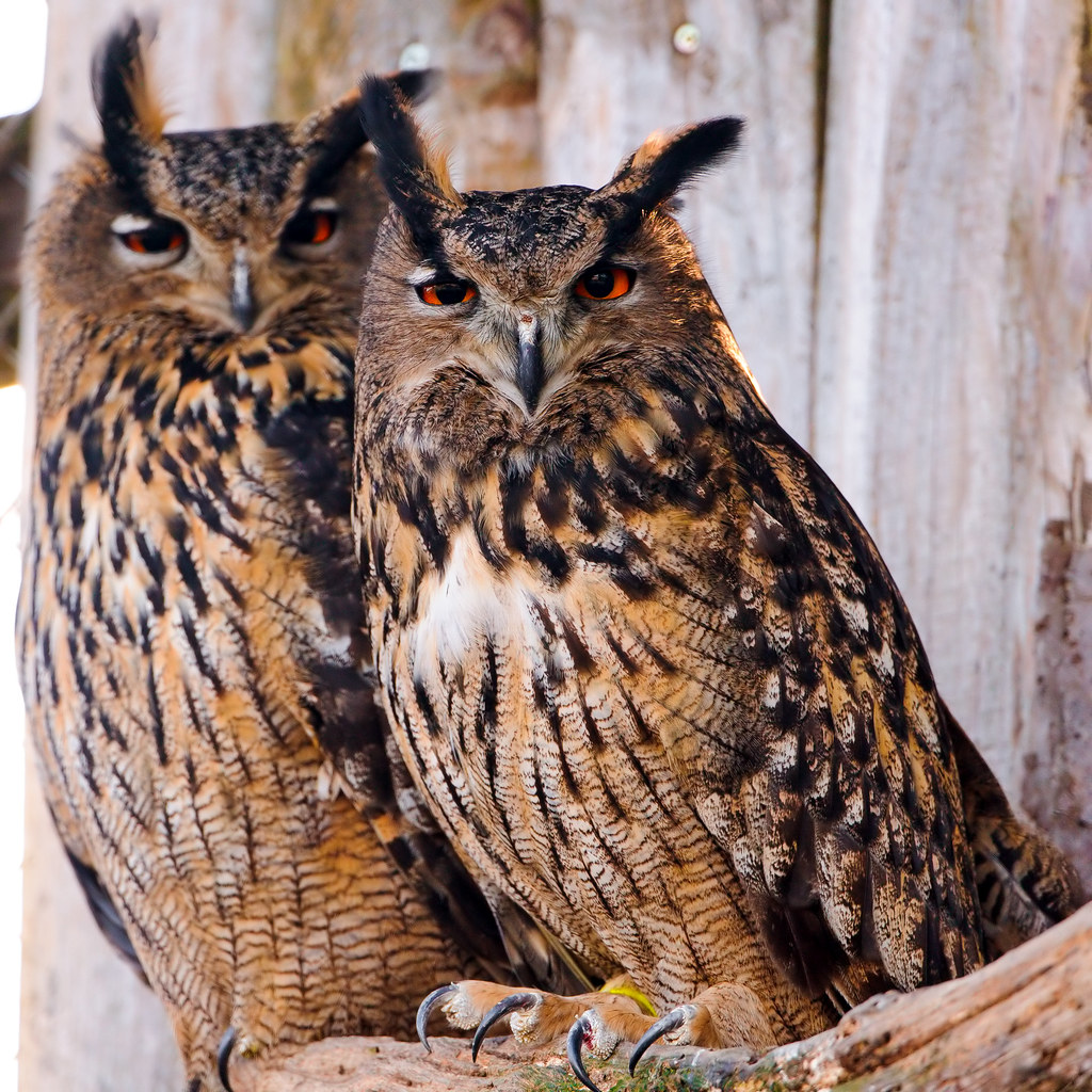 Two Eagle Owls Two Eagle Owls Snuggling Together Taken