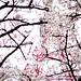 阿里山派出所 Cherry Blossom, Alishan, Taiwan
