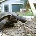 Gopher Tortoise in Human Habitat
