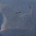 Dolphins circling prey