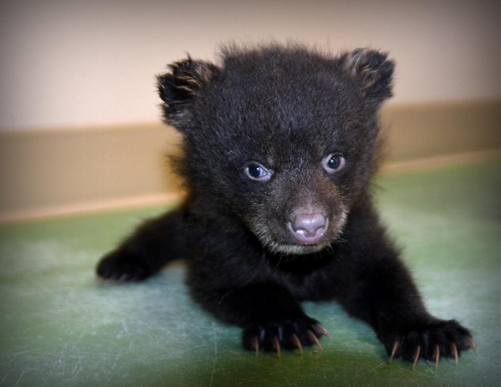 Newborn Black Bear | Wallpapers Gallery - photo#31
