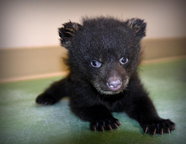 Baby Black Bear | Explore kristi_Nikon_D1X's photos on ...