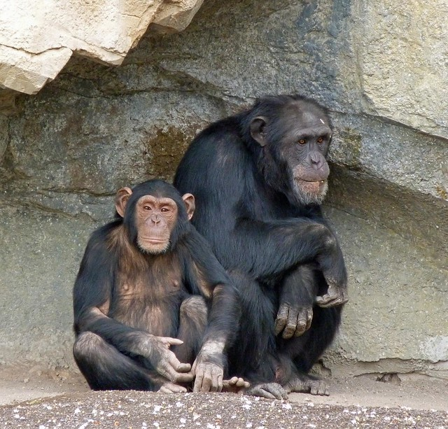 Chimpancés en Bioparc Valencia