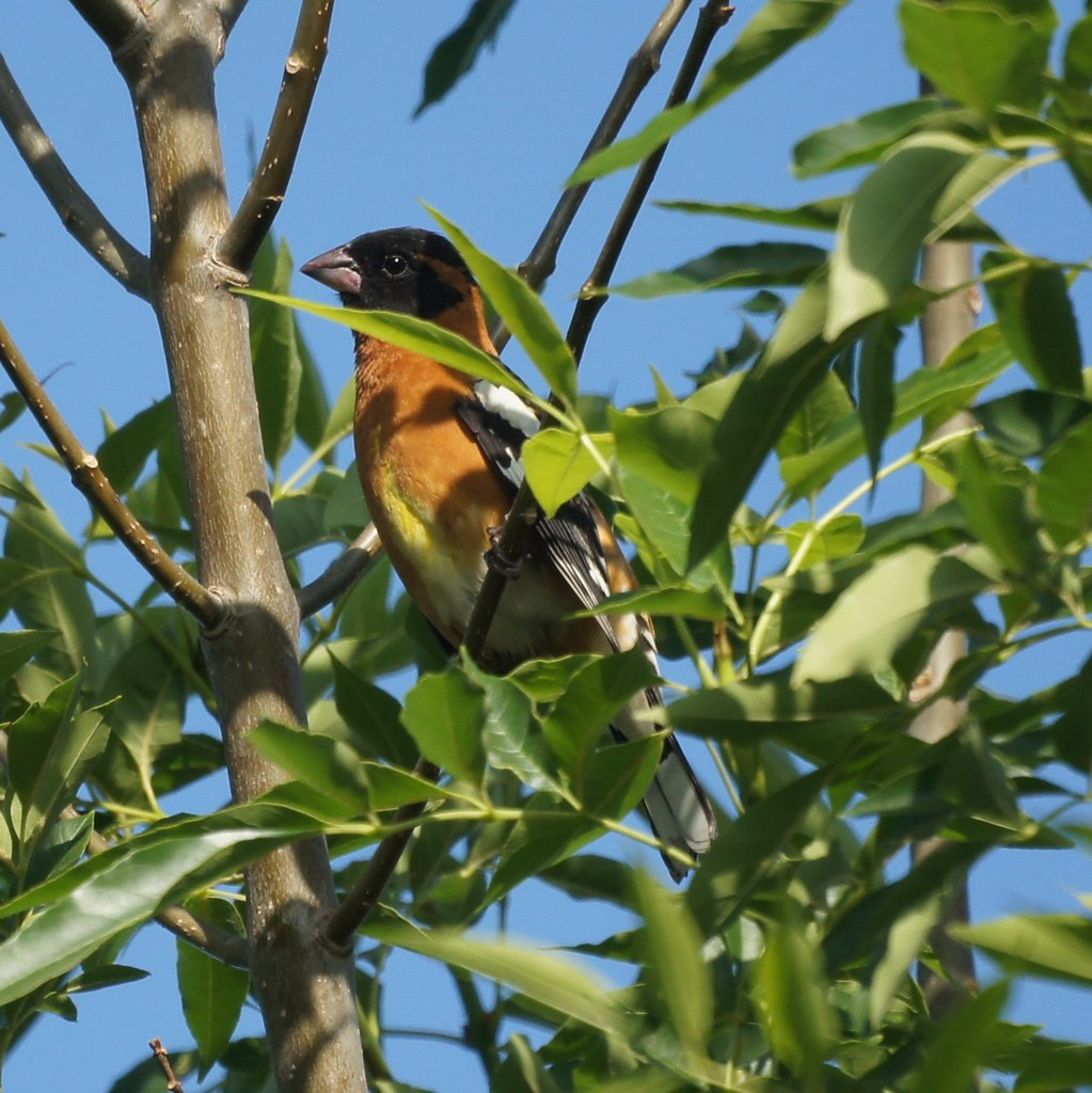 Black Headed Grosbeak Uc Riverside Botanic Gardens Flickr