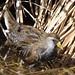 IMG_1230-SORA-face-72dpi-e-bird