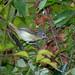 Zidedê (Terenura maculata)