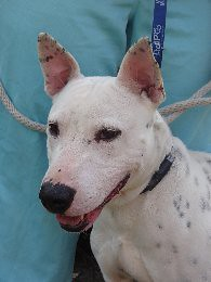 Spuds Bull Terrier Dalmatian Mix 2 Of 3 Spuds
