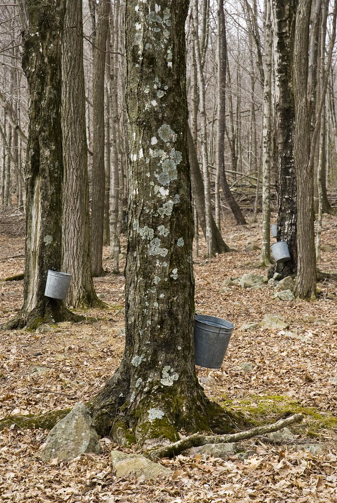 Tapping sugar maple trees to make maple syrup at Eagle's S ...