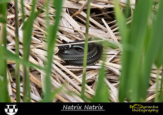 Natrix Natrix | by Pyranha Photography | 1250k views - THX