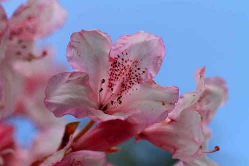 Bowood Rhododendron | by Paul *
