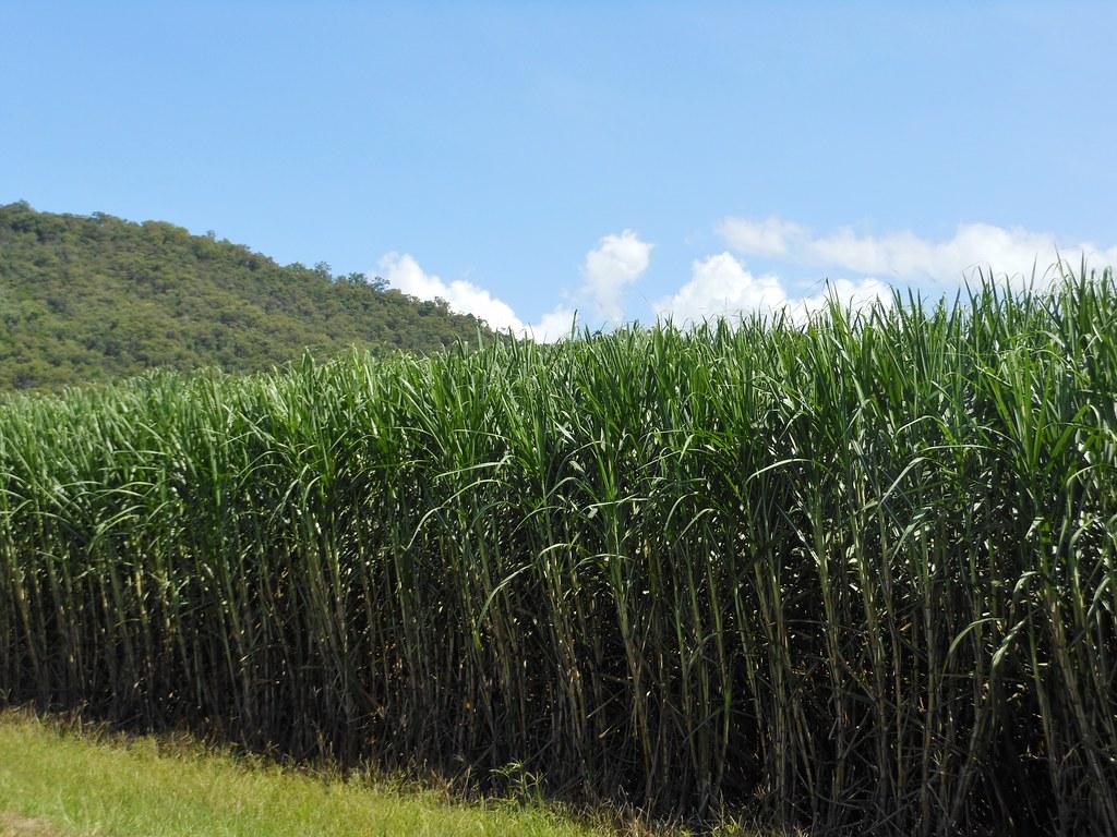 sugar cane   wwwthehersheycompanycomenusfood ph flickr