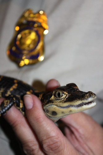 Seized baby alligator illegally collected from Big Cypress National Preserve and later sold to undercover agents. | by USFWS/Southeast