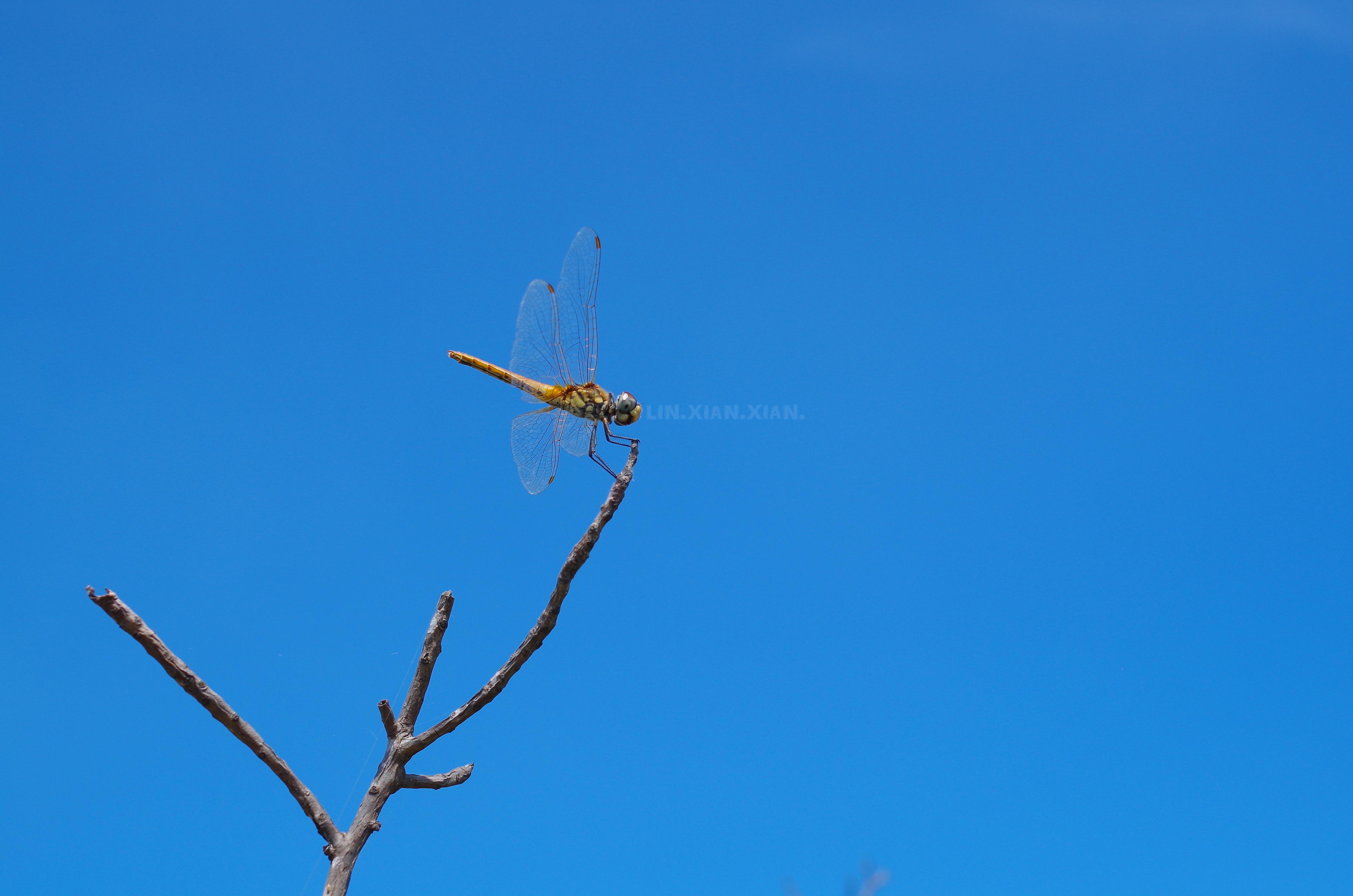 蜻蜓一張流