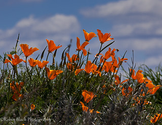 Sun Worshippers (California Poppies) | by Robin Black Photography