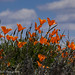 Sun Worshippers (California Poppies)